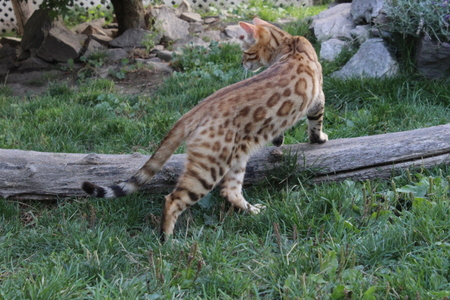 Bengal Rosetted & Marble Kittens For Sale | Majestic Pride